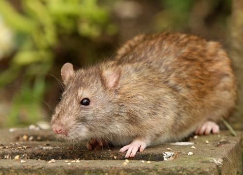 Attic & Crawl Space Rodent Cleanup Services in Greater Weirton