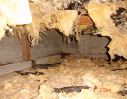moldy insulation in a Winnipeg crawl space
