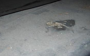 Dead mouse on a crawl space floor