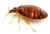 Bed Bugs in North Carolina