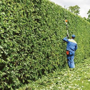 [hedge trimming]