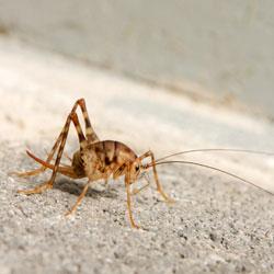 a camelback cricket