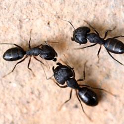 Closeup of black carpenter ants in a home