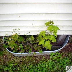 Weeds and very small maple trees growing out of a basement window well.