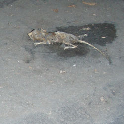 A dead mouse lying on a black vapor barrier in a crawl space