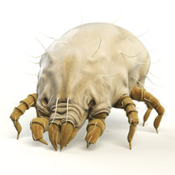an illustration of a dust mite, enlarged