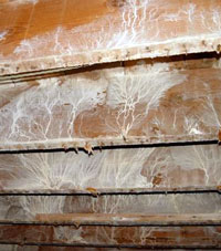 White fungus growing on floor joists.