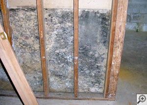 Mold growing thickly on the back of a drywall and stud finished basement.