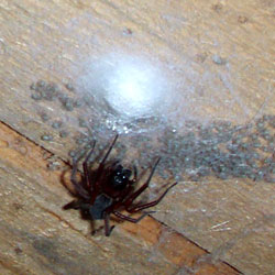 a spider and its babies living in a crawl space