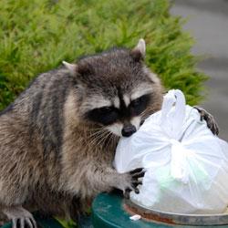 a raccoon raiding a trash can