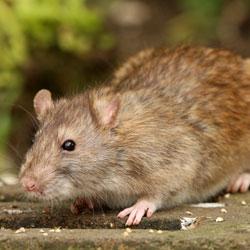 a closeup of a Norway rat