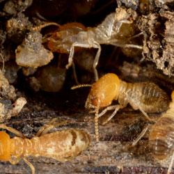 termites infesting crawl space floor joists