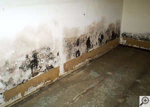 Mold growing on a drywall in a flooded basement.
