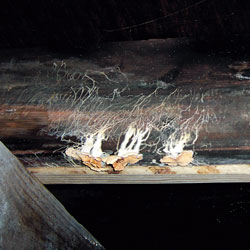 mold and fungi growing on a floor joist.