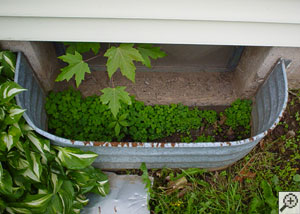 Overhead view of a basement window well filled with dirt, plants, and even a seedling maple tree.