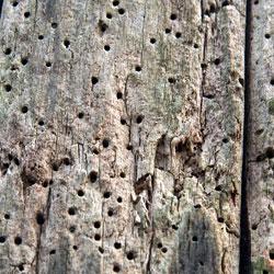 Powder post beetle damage on wood