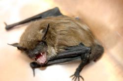 bat fang