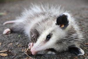opossum dead