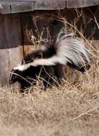skunk-outdoors