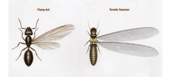 Termite versus flying ant