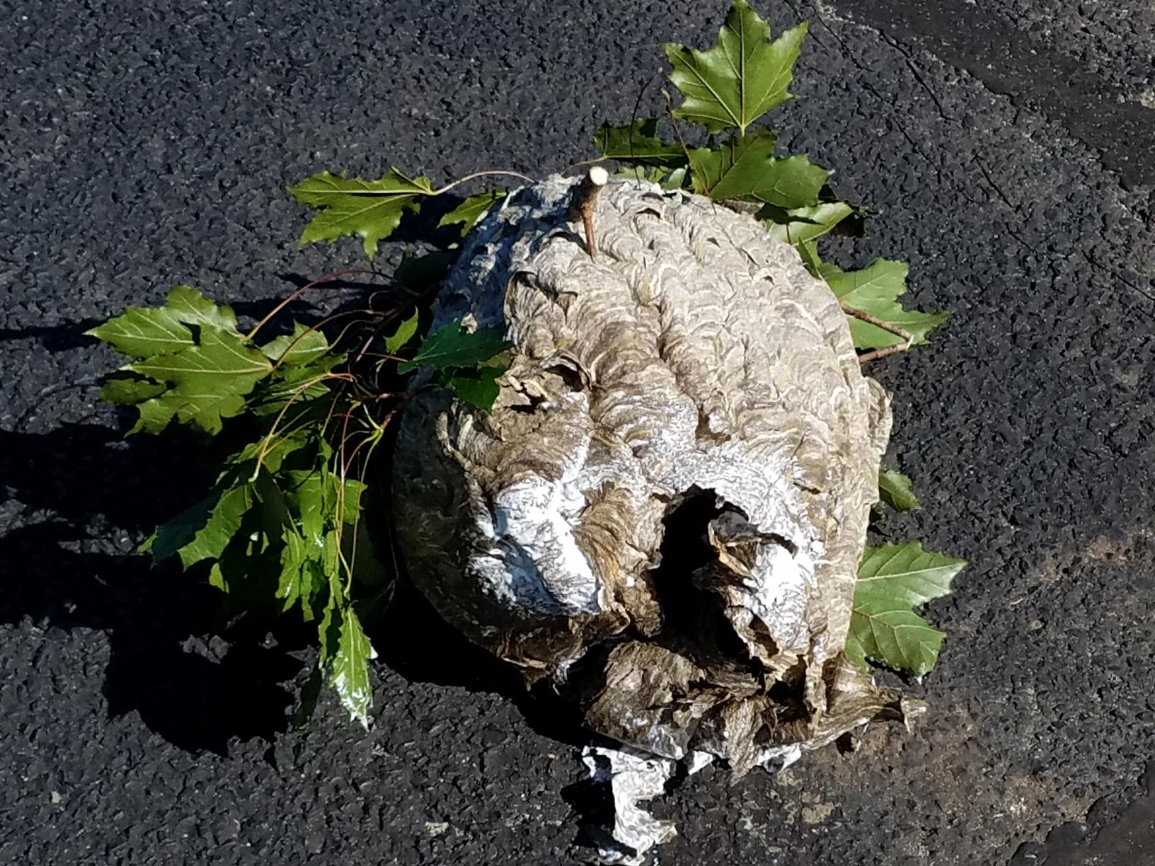 Huge hornets nest in Barnegat Light, NJ - After Photo