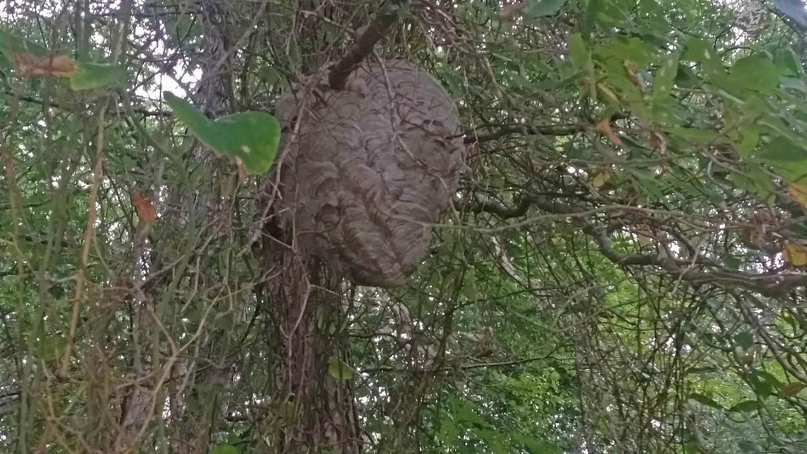 Huge hornets nest endangers Bridgewater, NJ family - Before Photo
