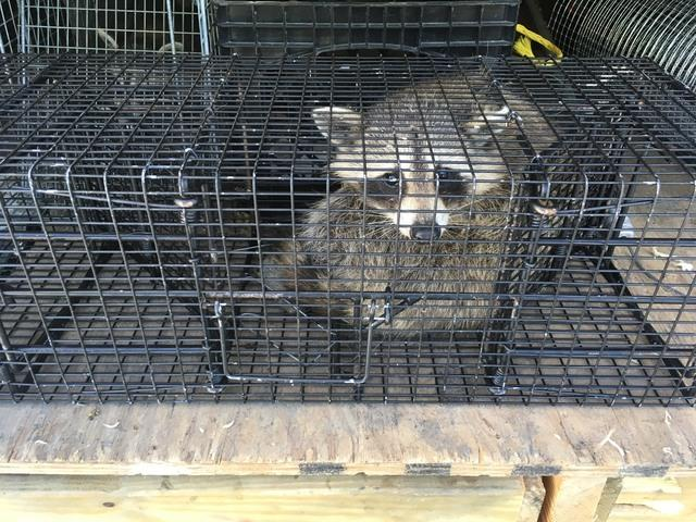 Challenging raccoon trapping job in Kendall Park, NJ