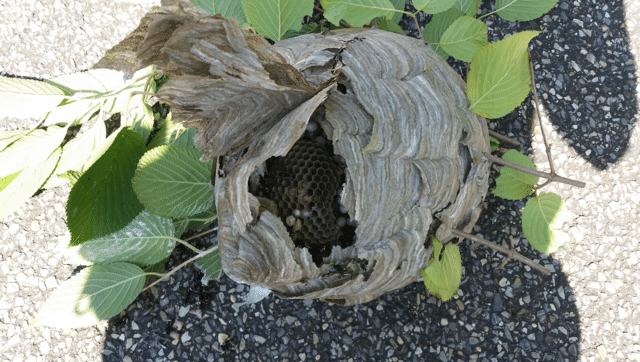 Huge hornets nest a danger to students in Oakhurst, NJ