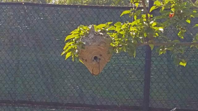 Hornets threaten tennis game in Wall Township, NJ