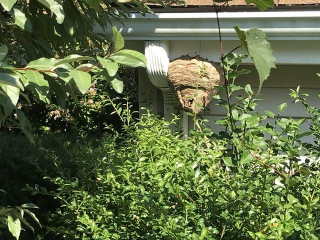 Bald-faced hornets nest taken down in Howell, NJ