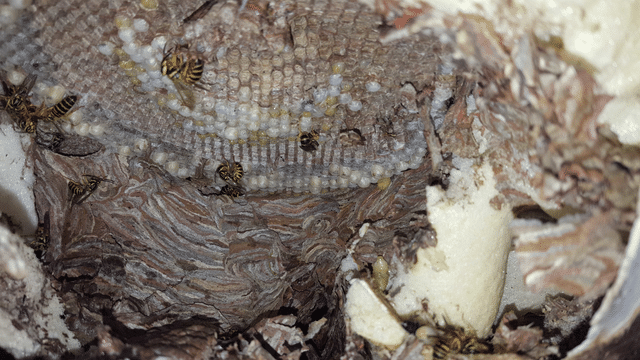 Large hornets nest near hot tub in Holmdel, NJ