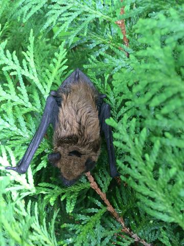Cowleys to the Bat Rescue! Bat Removal in Wall, NJ