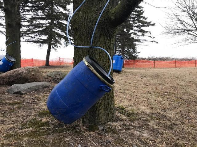 Clarke Basement System tapping away at the various maple trees located right here on our property!...