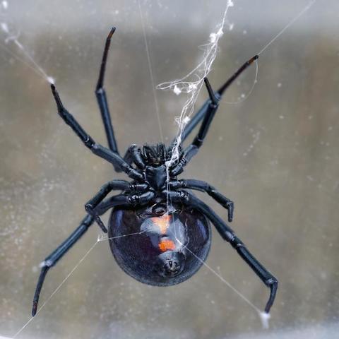 Black Widow - Image 1