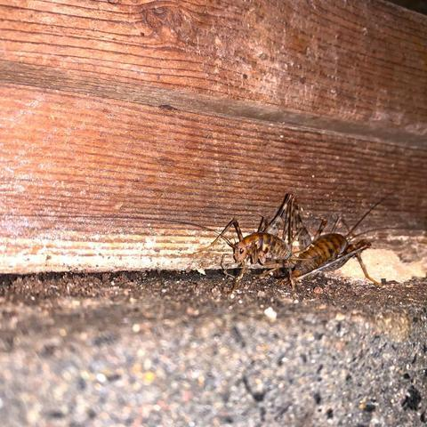 NJ Homeowner\'s Guide to Camel Crickets - Image 1