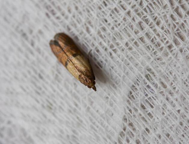 IndianMeal Moths Infesting Your Pantries - Image 1