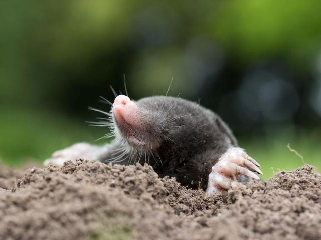 Moles: What Are They & How to Search for Them - Image 1