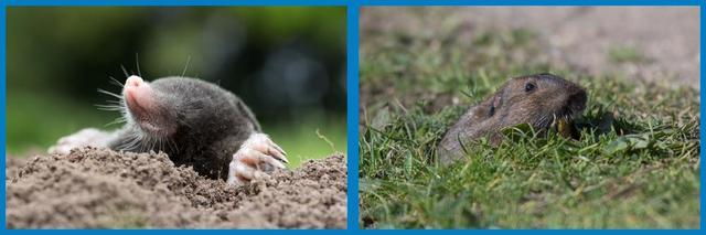The Difference Between Moles & Voles