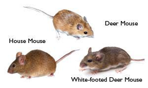 Homeowners Guide to the WhiteFooted Mouse - Image 2