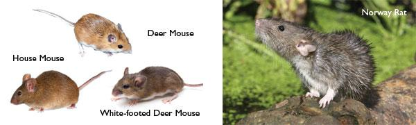 Mice and rat identification