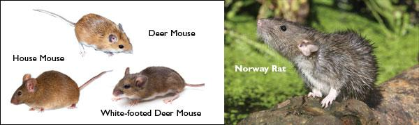 5 ways to tell the difference between a mouse and a rat infestation in NJ