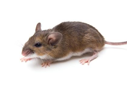 white footed deer mouse