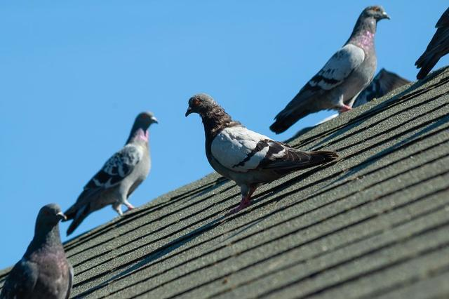 The Problems Pigeons Create