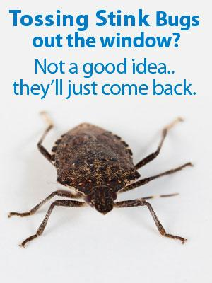 Prevention Is Key When It Comes to Stink Bugs and Other Overwintering Pests