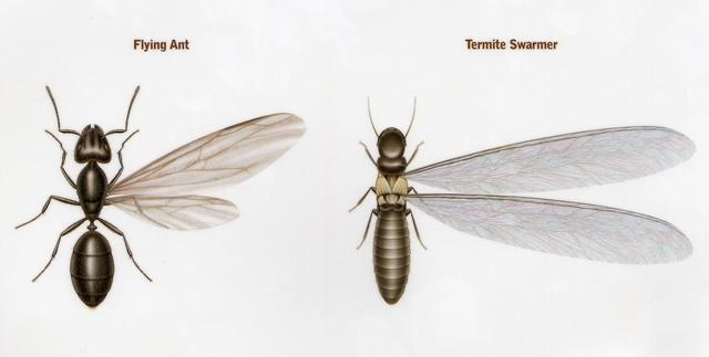 Is It A Termite Or A Flying Ant News And Events For Cowleys Pest Services