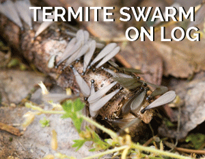 Know Your Enemy:  Four Facts About Termite Biology That Will Help You Avoid...