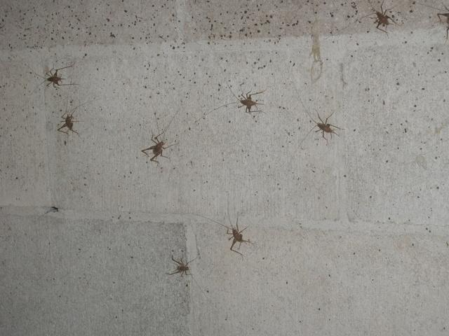 Spider Crickets in Crawl Space