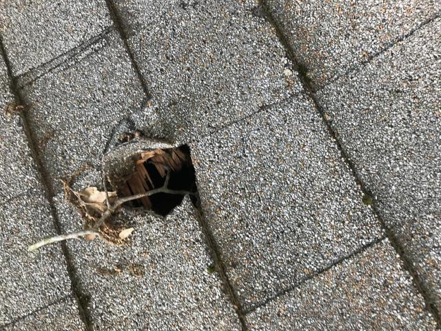 Hole from a squirrel gnawing through asphalt shingles on the roof