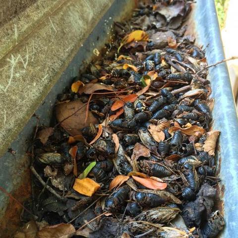 Cicada Invasion of 2016