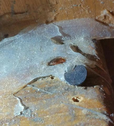 Bed Bug hiding on windowsill in Millstone, NJ